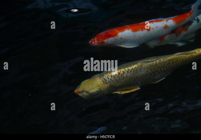 Koi fish wild stock photos koi fish wild stock images for Colorful pond fish