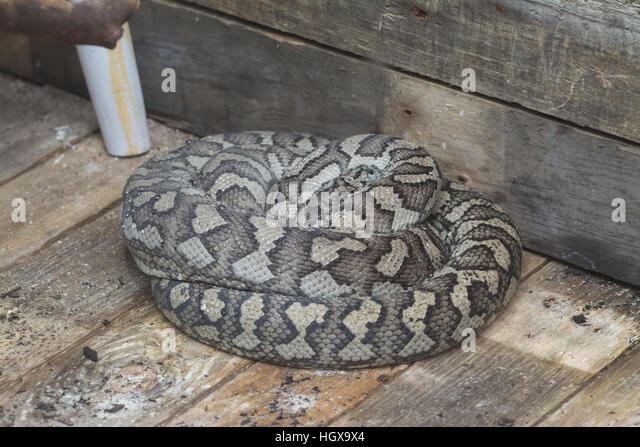 Carpet Python (Morelia Spilota) Coiled Up On Wooden Floor   Captive   Stock  Image
