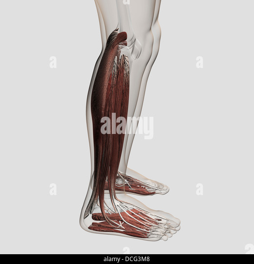 muscle fibers stock photos & muscle fibers stock images - alamy, Muscles