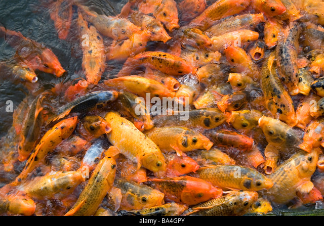 Ornamental carp stock photos ornamental carp stock for Ornamental fish garden ponds
