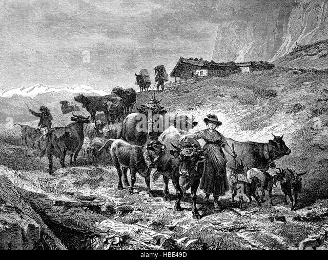 E Cattle Drive Cattle Drive Stock Pho...