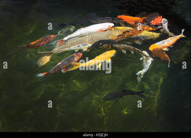 Karp stock photos karp stock images alamy for Red and white koi fish