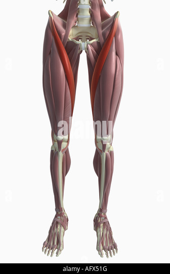 sartorius muscle stock photos & sartorius muscle stock images - alamy, Human Body