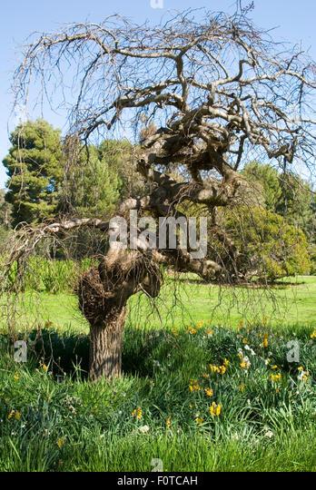 Australia south australia adelaide botanical stock photos for Garden trees adelaide