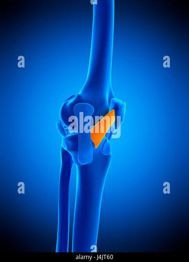 Medial Patellar Ligament Stock Photos & Medial Patellar Ligament ...