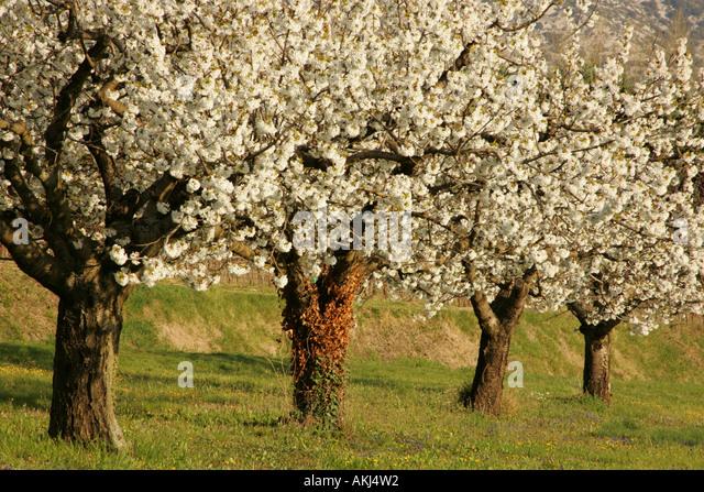 Cherry <b>Tree</b> In <b>Blossom</b> In Canola <b>Field Spring</b> Badenwuerttemberg ...