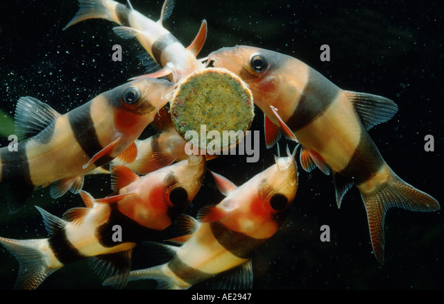 Botia stock photos botia stock images alamy for What do clown fish eat