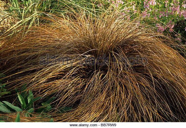 Carex buchananii stock photos carex buchananii stock for Brown ornamental grass plants