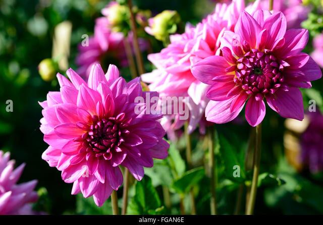 dahlia rosella pink dinner plate dahlias flower flowers bloom blossom perennial tuber tuberous plant RM Floral & Dinner Plate Dahlias Stock Photos \u0026 Dinner Plate Dahlias Stock ...