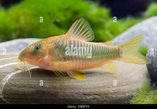 Corydoras stock photos corydoras stock images alamy for Cory cat fish