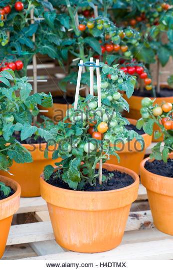 growing tomatoes pot stock photos amp growing tomatoes pot