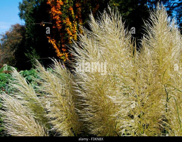 Ornamental Grasses Kenya : Cortaderia selloana or pampas grass is a flowering plant native