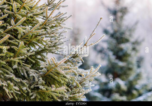 spruce tree snow - photo #41