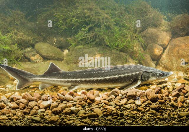 Russian sturgeon (Acipenser gueldenstaedtii, Acipenser gueldenstaedti ...