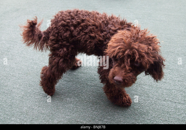 Brown miniature poodle