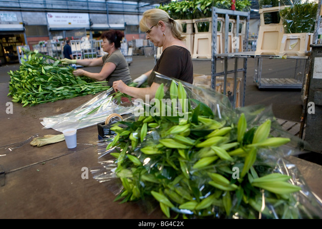 flower auction aalsmeer South of amsterdam to the world's largest flower auction 'royal flora holland', in  aalsmeer early in the morning the auctioning of flowers and plants starts and.