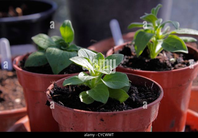 petunia seedlings stock photos petunia seedlings stock images alamy. Black Bedroom Furniture Sets. Home Design Ideas