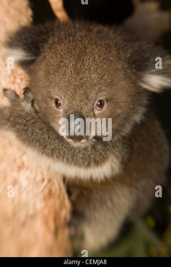 Koala Bear And Baby Stock Photos  Koala Bear And Baby Stock