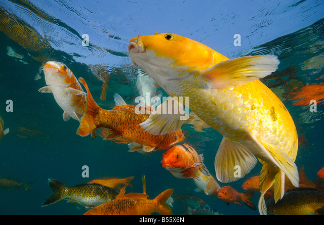 Koi carp stock photos koi carp stock images alamy for Carpe koi b