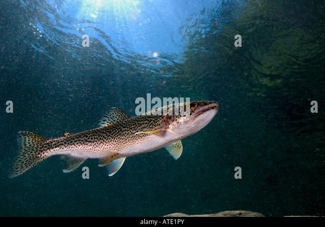 Freshwater fish california stock photos freshwater fish for California freshwater fish