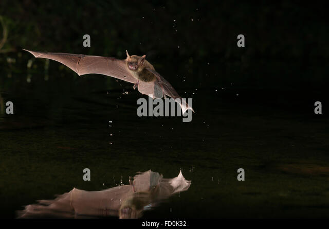 Bat Hunting Stock Photos Amp Bat Hunting Stock Images Alamy