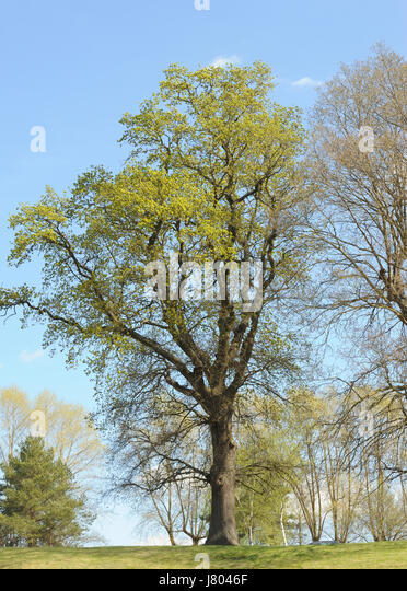 An oak tree (Quercus species) covered in freshly opened leaf and flower buds in early April. Ticehurst, East Sussex, - Stock Image