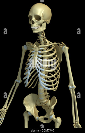 three quarter view bones male upper stock photos & three quarter, Skeleton