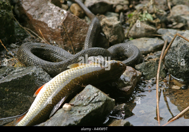 Brown water snake eating fish stock photos brown water for Snake eating fish