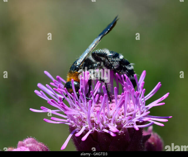 Black Flower Wasp From Australia: Black And White Markings Stock Photos & Black And White