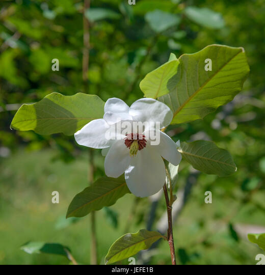 magnolia wilsonii stock photos magnolia wilsonii stock. Black Bedroom Furniture Sets. Home Design Ideas