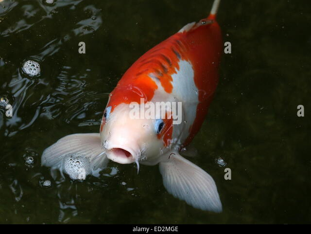Carp open mouth stock photos carp open mouth stock for Orange koi carp