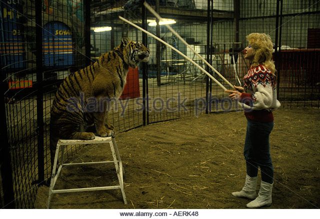 Splendid London Circus Animal Stock Photos  London Circus Animal Stock  With Licious Tiger Training Gerry Cottle Circus London Uk Photo Homer Sykes  Stock  Image With Attractive Plastic Garden Trugs Also Garden Centres Hereford In Addition St George Gardens Paphos And Madison Square Garden Knicks As Well As National Garden Vouchers Additionally Gardening Shoes From Alamycom With   Licious London Circus Animal Stock Photos  London Circus Animal Stock  With Attractive Tiger Training Gerry Cottle Circus London Uk Photo Homer Sykes  Stock  Image And Splendid Plastic Garden Trugs Also Garden Centres Hereford In Addition St George Gardens Paphos From Alamycom