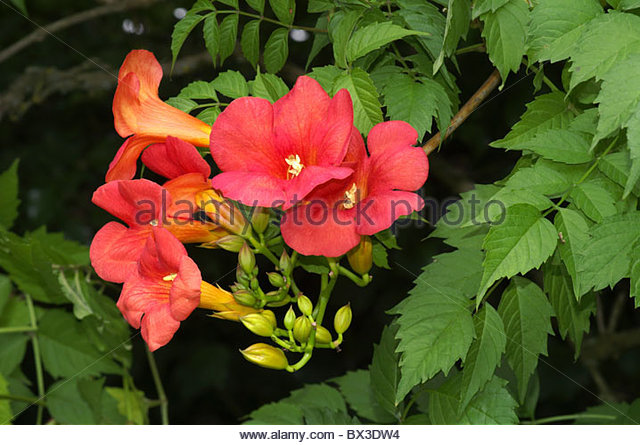 trumpet vine campsis radicans stock photos trumpet vine campsis radicans stock images alamy. Black Bedroom Furniture Sets. Home Design Ideas