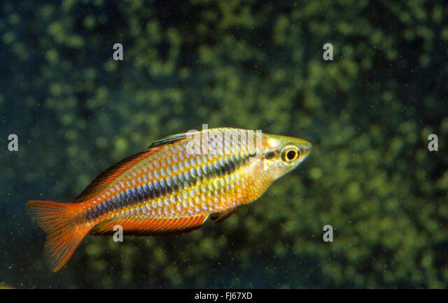 Regal Rainbowfish, Banded Rainbowfish, Jewel Rainbowfish, Goyder River ...