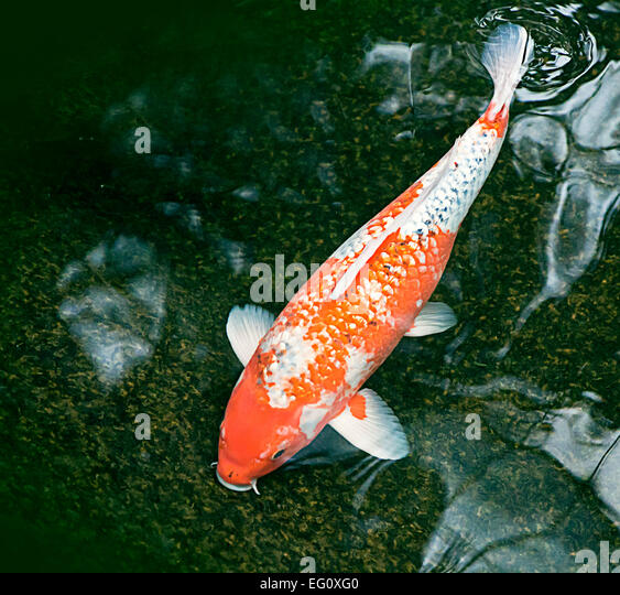 Lucky fish stock photos lucky fish stock images alamy for Golden ornamental pond fish