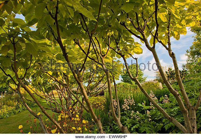 catalpa bignonioides aurea stock photos catalpa bignonioides aurea stock images alamy. Black Bedroom Furniture Sets. Home Design Ideas