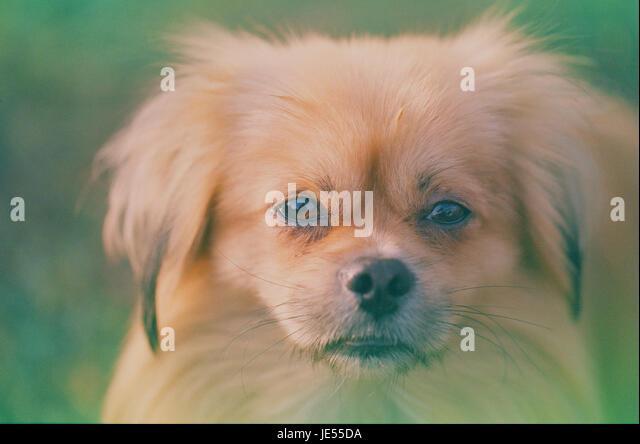 Expired film photo of pekingese dog portrait - Stock Image