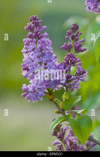 Common lilac stock photos common lilac stock images alamy for Syringa vulgaris