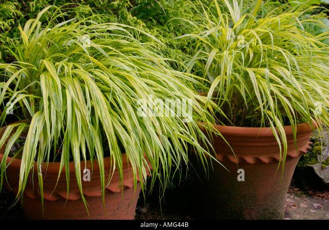 Hakone grass hakonechloa stock photos hakone grass for Tall grasses for pots