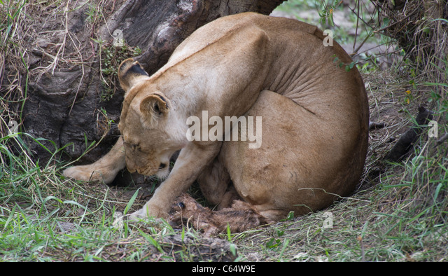 Pregnant Lioness Giving Birth | www.pixshark.com - Images ...
