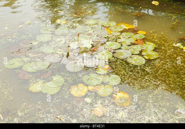 Nymphet stock photos nymphet stock images alamy for Green water in pond
