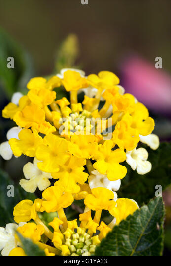 yellow and purple lantana lantana stock photos lantana stock images alamy