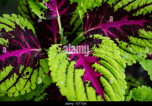 coleus plants stock photos  coleus plants stock images  alamy, Natural flower