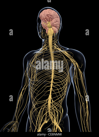 Human nervous system on display - photo#35