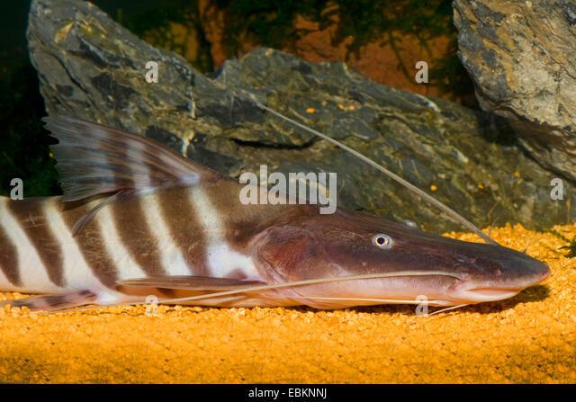 Suckermouth stock photos suckermouth stock images alamy for Tiger striped fish