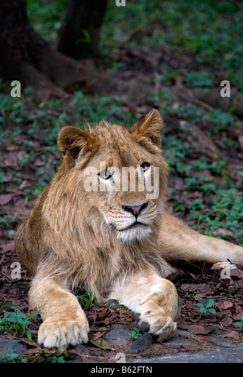 Panthera leo persica - photo#43