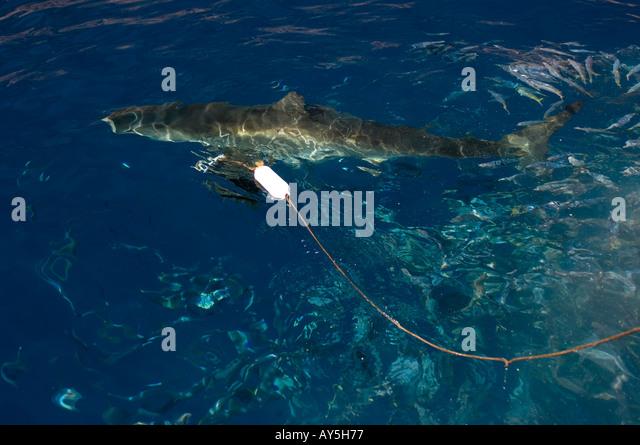 Shark chum stock photos shark chum stock images alamy for Guadalupe island fishing