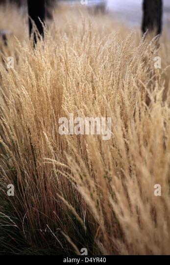 Tall ornamental grass stock photos tall ornamental grass for Brown ornamental grass plants