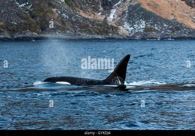 schwertwal killerwal orca orcinus orca ausatmender grosser bulle schwimmt in ufernaehe - Ausatmen Fans Usa