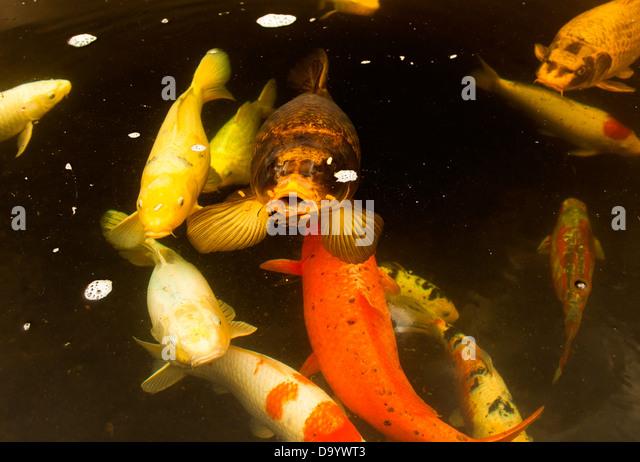 Feeding Goldfish Stock Photos Feeding Goldfish Stock